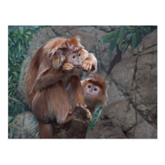Langur Chews Stick While Other Monkey Watches Postcard