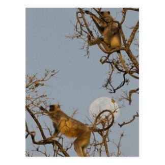 Langur de Hanuman que sube en árbol Postales