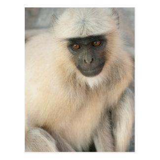 Langur Monkey, Amber Fort, Jaipur, Rajasthan Postcard