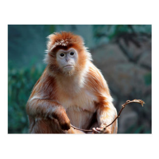 Langur Monkey Wildlife Animal Photo Postcard