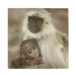 Langurs de la Negro-cara, madre con el bebé,
