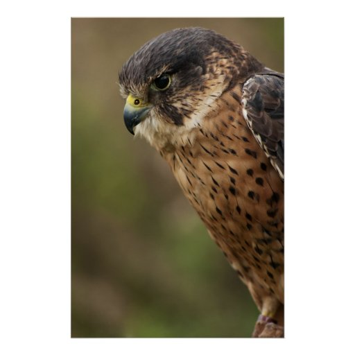 Lanner Falcon 2 Posters
