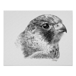 Lanner Falcon Drawing Poster