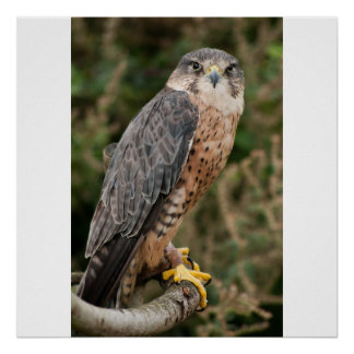 Lanner Falcon on perch Poster
