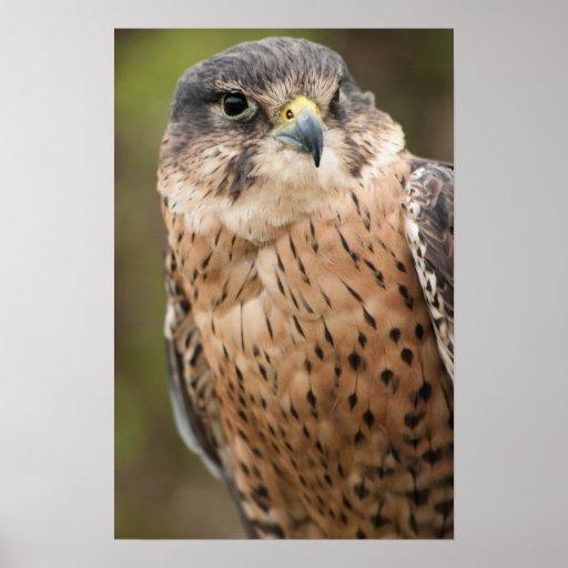 Lanner Falcon Poster