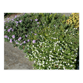 Lantana and Bacopa Postcard
