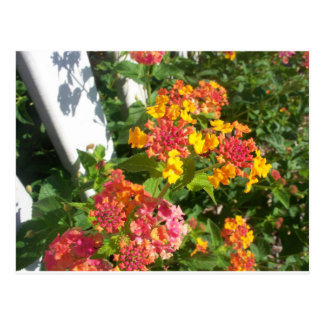 Lantana by the fence postcard