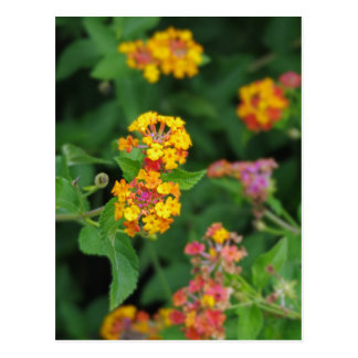 Lantana Camara Flowers Postcard