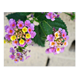 Lantana Flowers Post Card