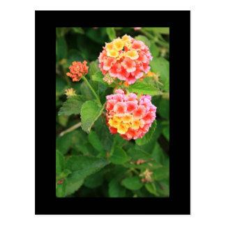 Lantana Flowers Postcard