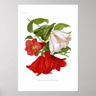 Lapageria rosea.(Chilean bellflower) Print
