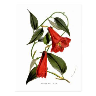 Lapageria rosea post cards