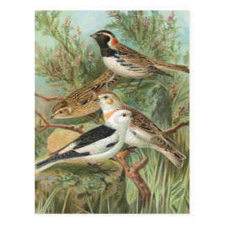 Lapland Longspur and Snow Bunting Postcard