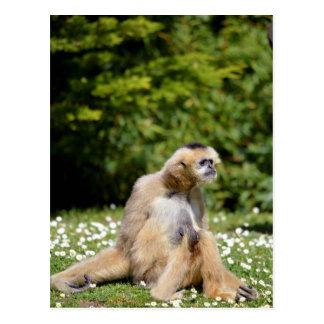 Lar gibbon sitting on grass postcard