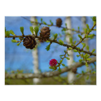Larch blossoms poster