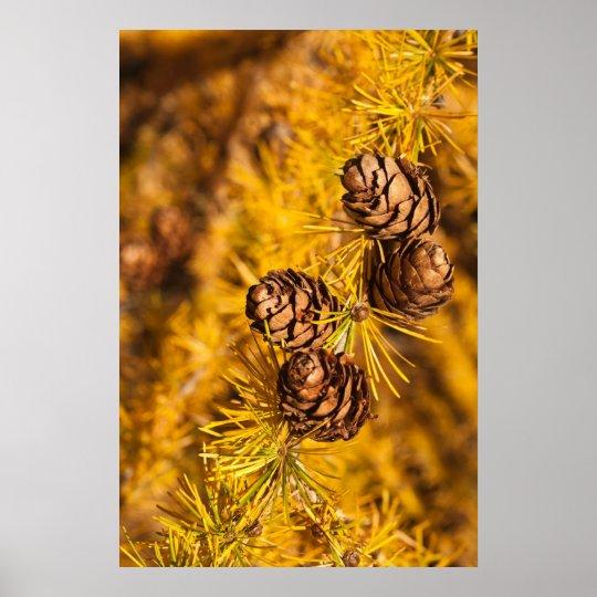 Larch Tree Cones Poster