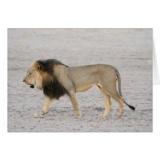 Large Black Maned Lion (Panthera Leo) Walks 2 Card