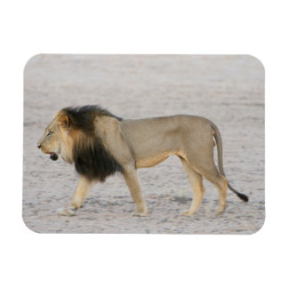 Large Black Maned Lion (Panthera Leo) Walks 2 Rectangular Photo Magnet