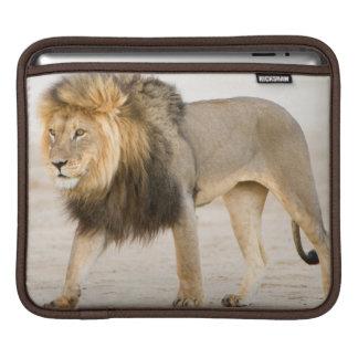 Large Black Maned Lion (Panthera Leo) Walks iPad Sleeves