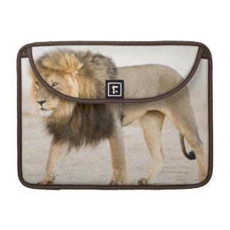 Large Black Maned Lion (Panthera Leo) Walks MacBook Pro Sleeve