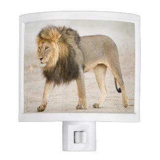 Large Black Maned Lion (Panthera Leo) Walks Night Light