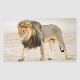 Large Black Maned Lion (Panthera Leo) Walks Rectangular Sticker