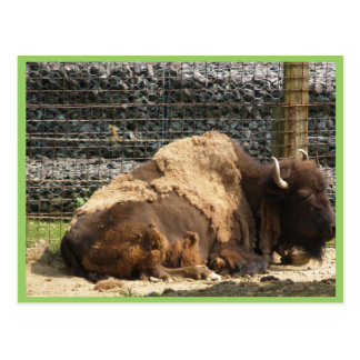 Large Brown Bison At Rest In Zoo America, Hershey, Postcard