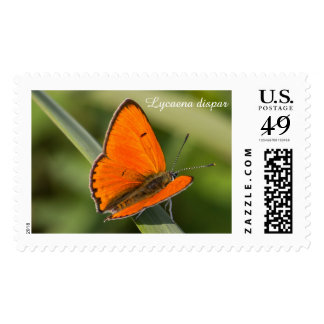 Large Copper butterfly Postage Stamp