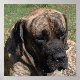 Large Dog Head Portrait English Mastiff Print