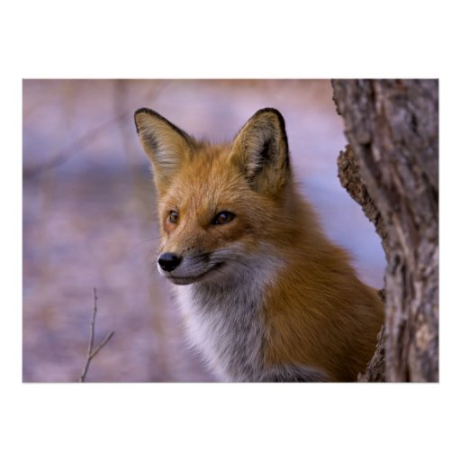 Large Fox Poster