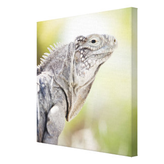 Large green Iguana basking in the sun in the Canvas Print
