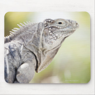 Large green Iguana basking in the sun in the Mouse Pad