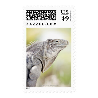 Large green Iguana basking in the sun in the Stamp