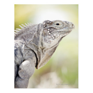 Large green Iguana basking in the sun in the Postcard