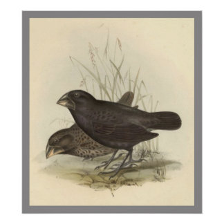 Large Ground Finch Poster