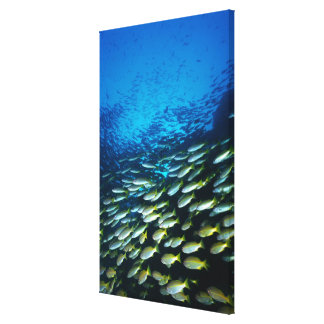 Large group of Bigeye Snapper fish swimming Canvas Print