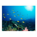Large group of Ocellated Orange fish swimming Postcard