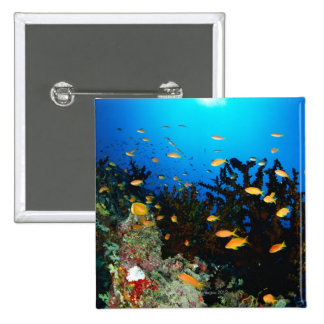 Large group of Sea Goldie fish swimming Pinback Buttons