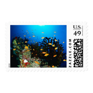 Large group of Sea Goldie fish swimming Postage