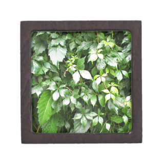 Large growths of ivy creeping wild closeup keepsake box