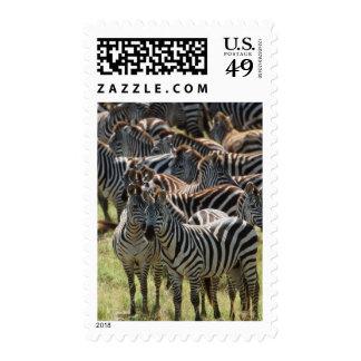 Large herd of Burchell's Zebra Stamps