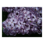Large Lilac Blooms Poster
