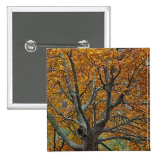 Large maple tree in autumn, Bass Lake, near 2 Inch Square Button