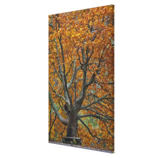 Large maple tree in autumn, Bass Lake, near Canvas Print