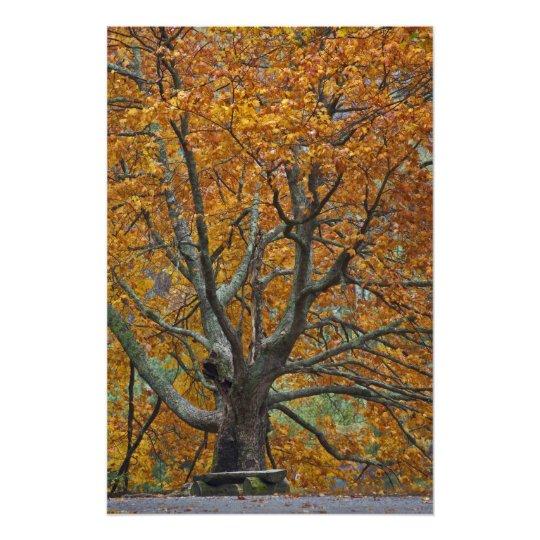 Large maple tree in autumn, Bass Lake, near Photo Print