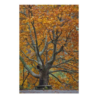 Large maple tree in autumn, Bass Lake, near Photographic Print