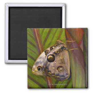 Large owlet Butterfly (Opsiphanes tamarindi) 2 Inch Square Magnet