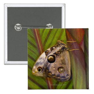 Large owlet Butterfly (Opsiphanes tamarindi) Pinback Button