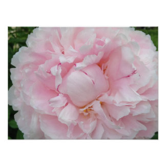 Large Pink Peony Flower Poster