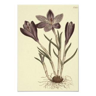 Large Purple Spring Crocus Botanical Illustration Card